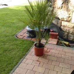 winterharte palmen an den pool pflanzen 1 - Palmen für den Pool - Urlaubsstimmung im eigenen Garten
