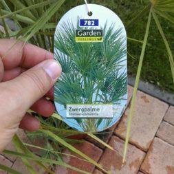 winterharte palmen an den pool pflanzen 2 - Palmen für den Pool - Urlaubsstimmung im eigenen Garten