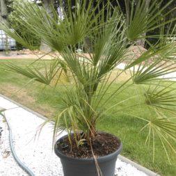 winterharte palmen an den pool pflanzen 29 - Palmen für den Pool - Urlaubsstimmung im eigenen Garten