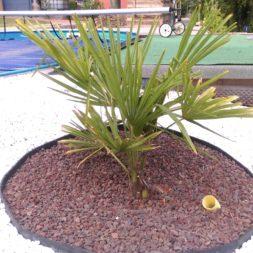 winterharte palmen an den pool pflanzen 31 - Palmen für den Pool - Urlaubsstimmung im eigenen Garten