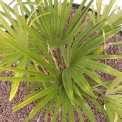 winterharte palmen an den pool pflanzen 32 - Palmen für den Pool - Urlaubsstimmung im eigenen Garten